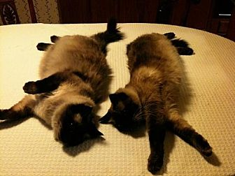 Balinese Cat for adoption in Herndon, Virginia - Asterope (& Alcyone)