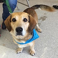 Adopt A Pet :: Sammy *Adoption Pending* - Fairfax, VA