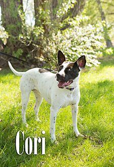 Australian Cattle Dog/Pit Bull Terrier Mix Dog for adoption in Cheyenne, Wyoming - Cori