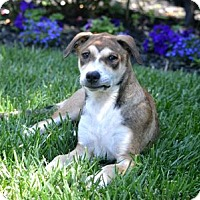 Adopt A Pet :: Ginger - Downey, CA