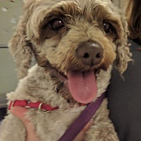 Terrier (Unknown Type, Medium)/Poodle (Standard) Mix Dog for adoption in North Kingstown, Rhode Island - Loki