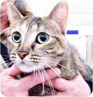 Domestic Shorthair Cat for adoption in Sheboygan, Wisconsin - Screamers