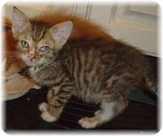 Domestic Shorthair Kitten for adoption in Naples, Florida - Pixie