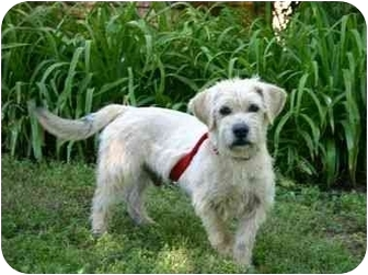 Terrier (Unknown Type, Small) Mix Dog for adoption in Muldrow, Oklahoma - Jack