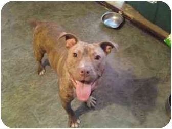 American Pit Bull Terrier Dog for adoption in Raymond, New Hampshire - MINI MOO