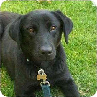 Labrador Retriever Dog for adoption in San Diego, California - MAY BLOSSOM