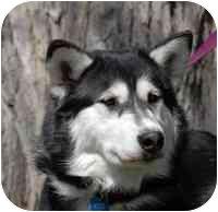 Husky Mix Dog for adoption in Denver, Colorado - Steele