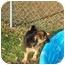 Photo 3 - Sheltie, Shetland Sheepdog/Miniature Pinscher Mix Puppy for adoption in Ozark, Alabama - Mojo