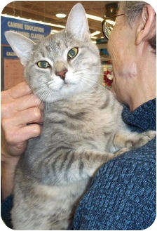 Domestic Shorthair Cat for adoption in St. Louis, Missouri - Billy