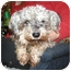 Photo 1 - Miniature Poodle/Cairn Terrier Mix Dog for adoption in Seattle, Washington - Mini Pups-NEED URGENT FOSTERS