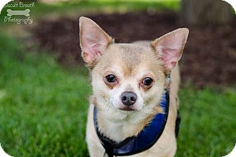 Chihuahua Mix Dog for adoption in Howell, Michigan - Sam