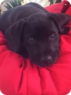 Labrador Retriever Mix Puppy for adoption in Torrance, California - CHASE