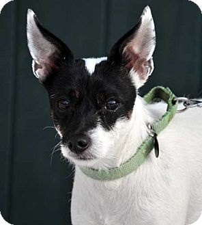 Jack Russell Terrier Mix Dog for adoption in Rhinebeck, New York - Shylene