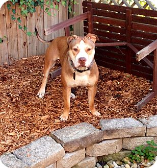 American Bulldog/Shar Pei Mix Dog for adoption in Villa Park, Illinois - Blue