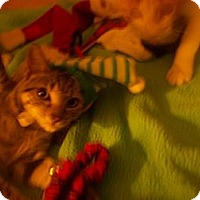 Adopt A Pet :: KIMBA - Little Neck, NY