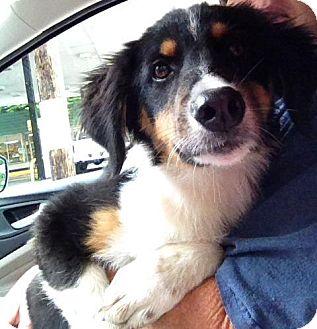 Bernese Mountain Dog/Collie Mix Dog for adoption in Danbury, Connecticut - Tana