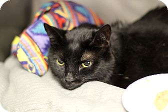 Domestic Shorthair Cat for adoption in Chicago, Illinois - Shadow Puppet