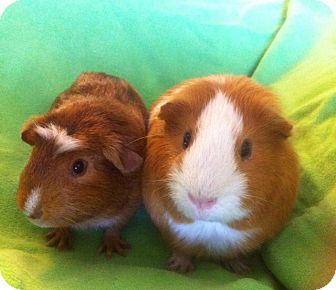 Guinea Pig for adoption in Fullerton, California - Scooter and Miles