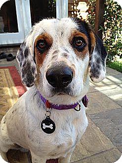 Bluetick Coonhound Mix Puppy for adoption in Sunnyvale, California - Jasper