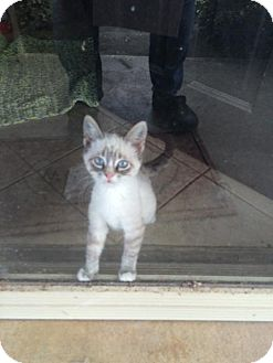 Siamese Kitten for adoption in San Marcos, Texas - Gremlin