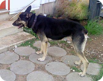 German Shepherd Dog Dog for adoption in Adkins, Texas - Charles