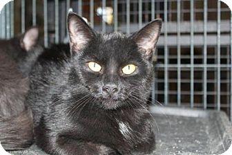 Domestic Shorthair Cat for adoption in Hamilton, Ontario - Anise