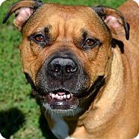 Adopt A Pet :: Chewie - Fort Riley, KS