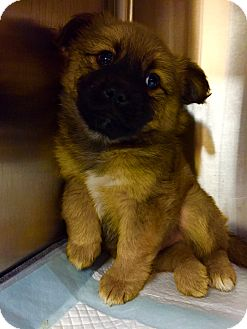 Shepherd (Unknown Type) Mix Puppy for adoption in Vancouver, British Columbia - Jason