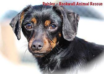 Dachshund Mix Dog for adoption in Lavon, Texas - Paisley