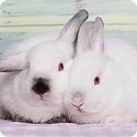 Adopt A Pet :: Basil - Los Angeles, CA