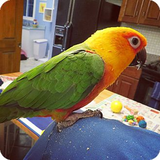 Conure for adoption in St. Louis, Missouri - Peanut