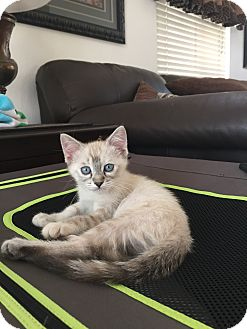 Siamese Kitten for adoption in Cerritos, California - Stella Rosa