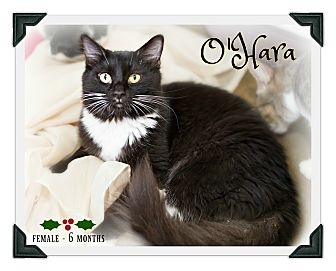 Domestic Longhair Kitten for adoption in Fallbrook, California - O'Hara