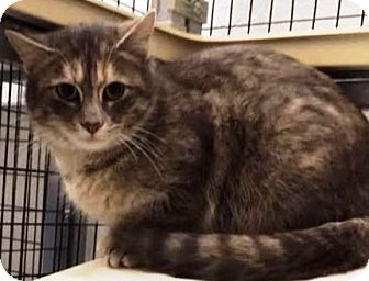 Domestic Shorthair Cat for adoption in Kalamazoo, Michigan - Rosa