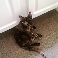 Domestic Shorthair Kitten for adoption in Houston, Texas - Noodles