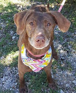 Pointer Dog for adoption in Lago Vista, Texas - Reina