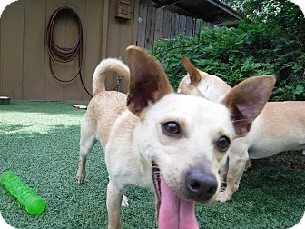 Terrier (Unknown Type, Small)/Chihuahua Mix Dog for adoption in Dublin, California - Sanchez