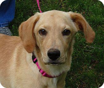 Labrador Retriever/Golden Retriever Mix Puppy for adoption in Harrisonburg, Virginia - Clover
