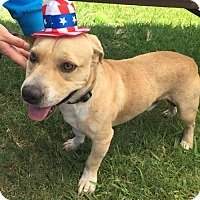 Shar Pei/Basset Hound Mix Dog for adoption in Euless, Texas - Captain Morgan