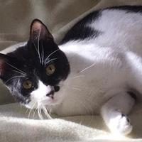 Domestic Shorthair/Domestic Shorthair Mix Cat for adoption in Garland, Texas - Oreo
