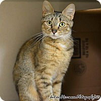 Adopt A Pet :: Caprice - East Hartford, CT