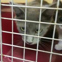 Adopt A Pet :: Catsy Cline - Fresno CA, CA