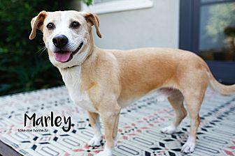 Corgi/Labrador Retriever Mix Dog for adoption in Santa Monica, California - Marley