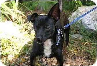 Dachshund/Miniature Pinscher Mix Dog for adoption in Englewood, Florida - Toby