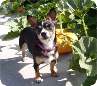 Terrier (Unknown Type, Small)/Chihuahua Mix Dog for adoption in Castro Valley, California - Maple