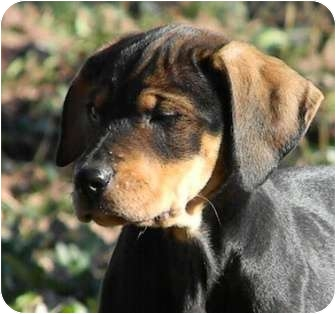 Black and Tan Coonhound Mix Puppy for adoption in Dallas, Texas - Winter Wonderland - Drifter