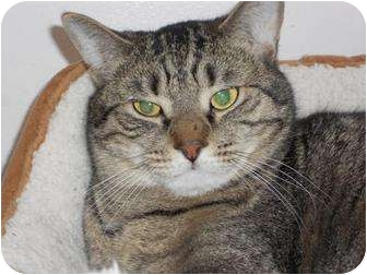 Domestic Shorthair Cat for adoption in Ocean City, New Jersey - Skywalker