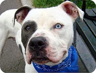 American Bulldog Mix Dog for adoption in Long Beach, New York - Big Pookie
