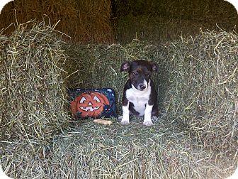 Corgi Mix Puppy for adoption in Easton, Illinois - Mandy