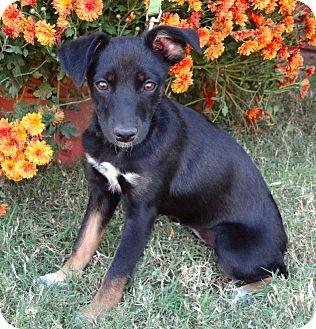 Rat Terrier/Miniature Pinscher Mix Puppy for adoption in Westport, Connecticut - *Hillary - PENDING
